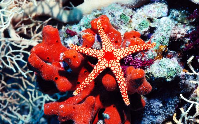 美丽海底世界红色海星