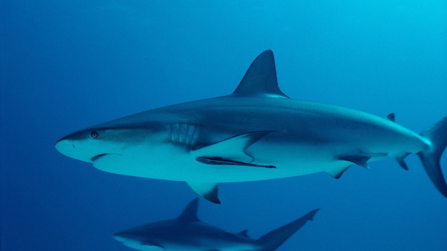 大鲨鱼海洋鱼图片素材下载