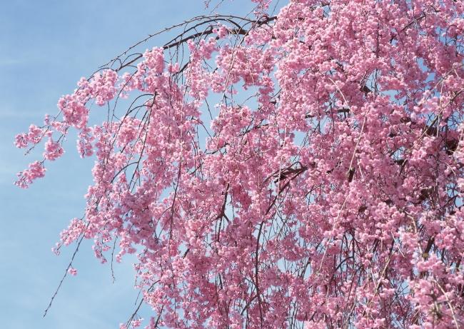 樱花树图片素材
