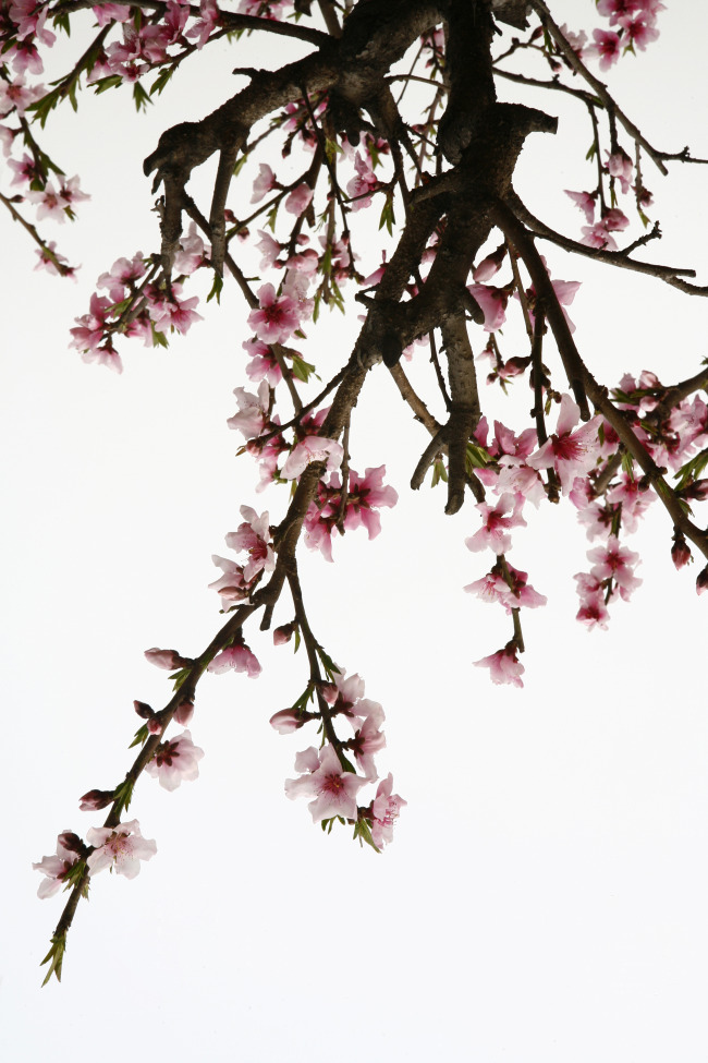 桃树彩铅画步骤
