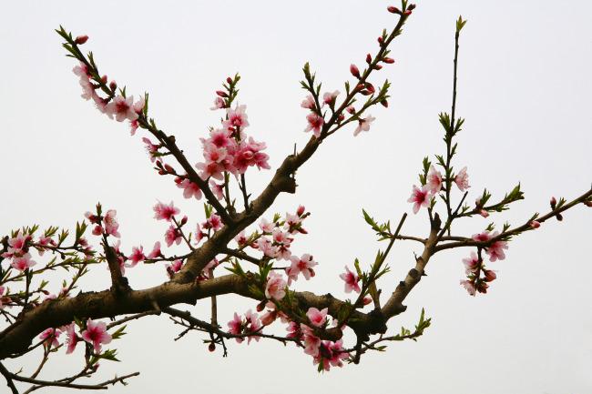 桃树与仙鹤工笔画