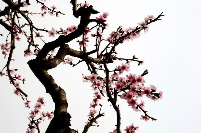 桃花 盆景 桃树 矢量
