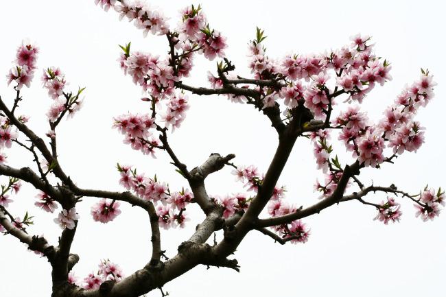 桃树简笔画图片大全