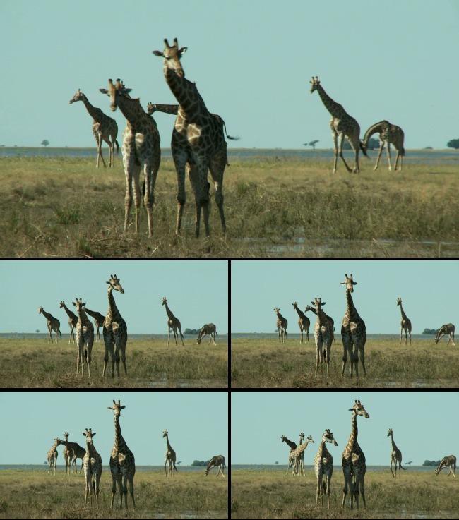 动物世界长颈鹿野外实拍高清视频背景素材