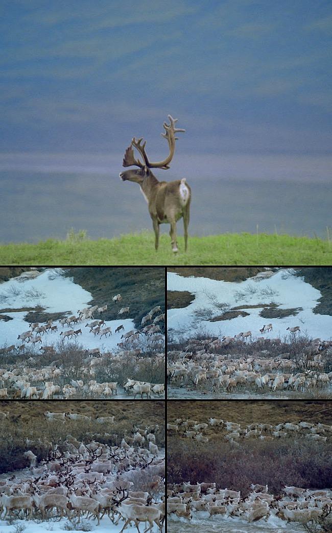 澳洲动物之羚羊群