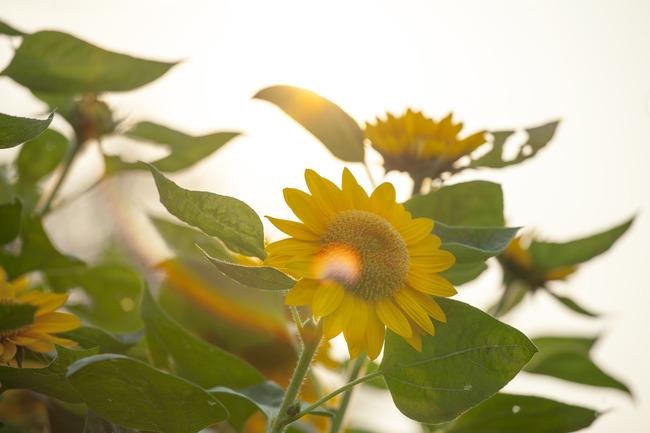 小清新图片——我心中的向日葵