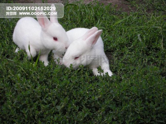 一对小白兔